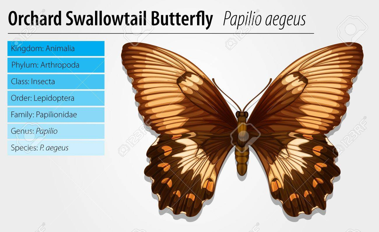 Illustration of a swallowtail butterfly - Papilio aegeus Stock Vector - 16214902