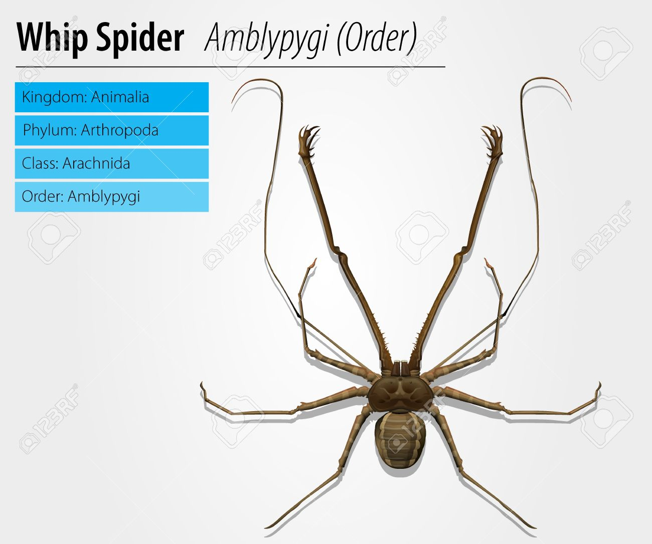 Illustration of a Amblypygi genus on a white background Stock Vector - 16214871