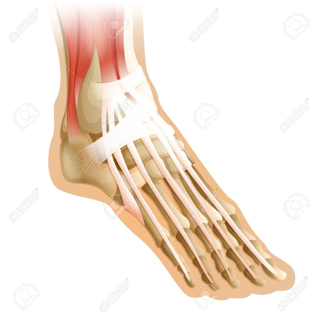 Diagram Of A Human Foot With Connective Tissue Royalty Free Cliparts ...