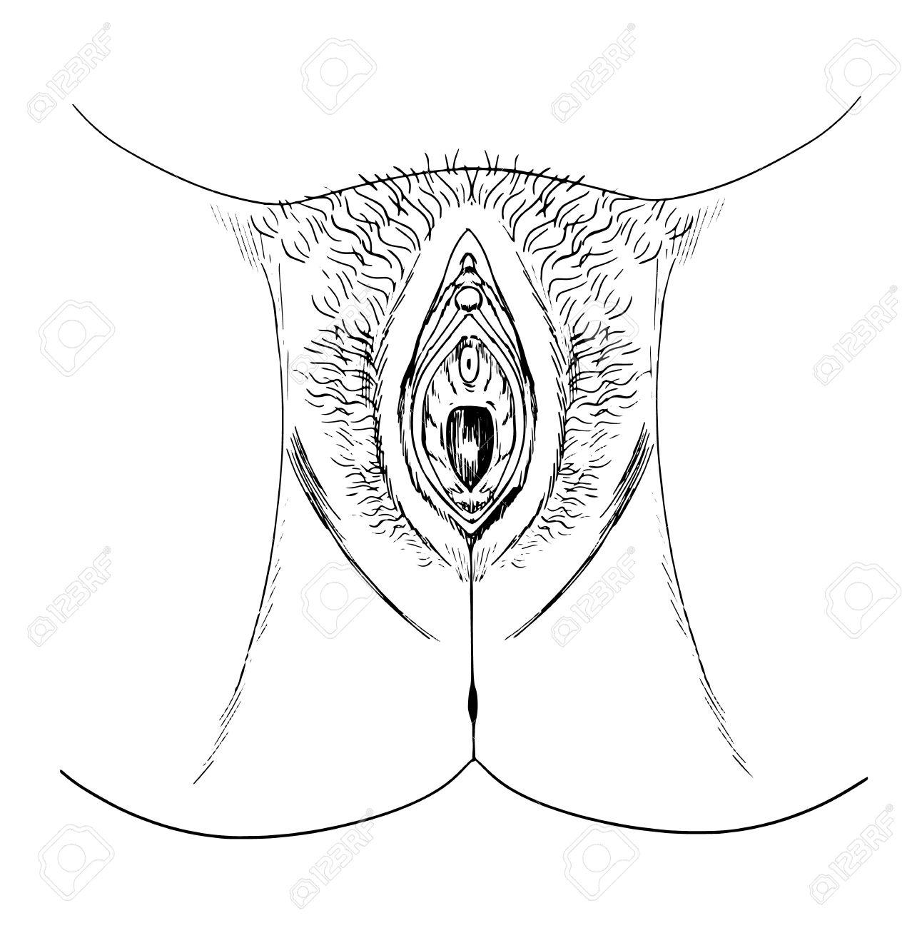 Croquis De La Vagina Humana (anatomía Externa) Ilustraciones ...
