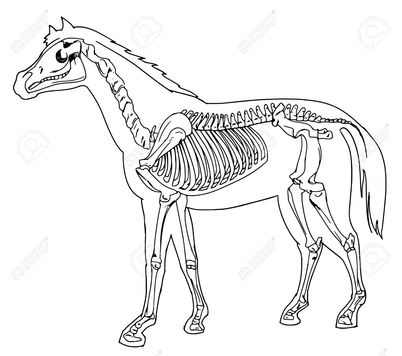 Diagram of a horse skeleton royalty free cliparts vectors and diagram of a horse skeleton stock vector 16771597 ccuart Image collections