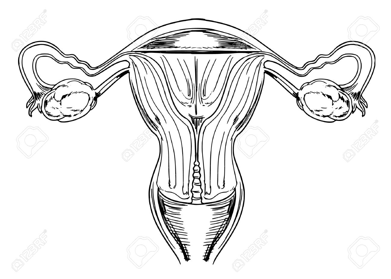 Diagram Of The Internal Female Reproductive Organs Royalty Free
