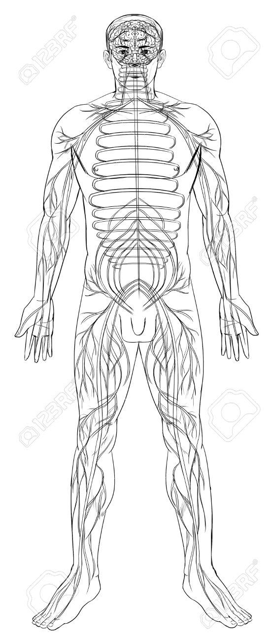 Esquema Ilustración Del Sistema Nervioso Humano Ilustraciones ...