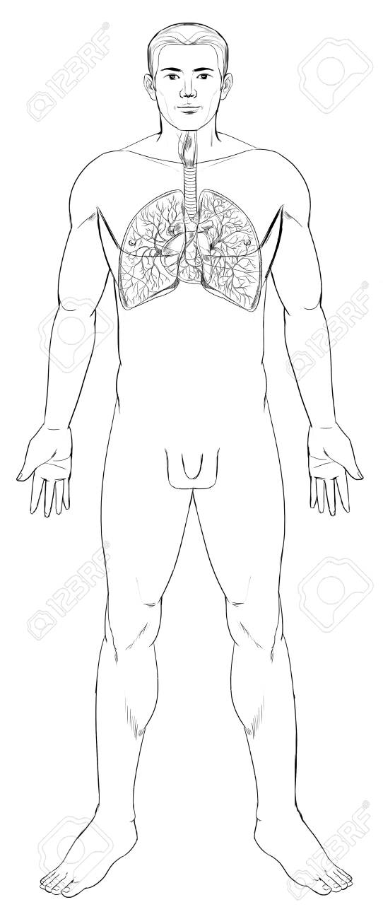 Outline Illustration Of The Human Respiratory System Royalty Free