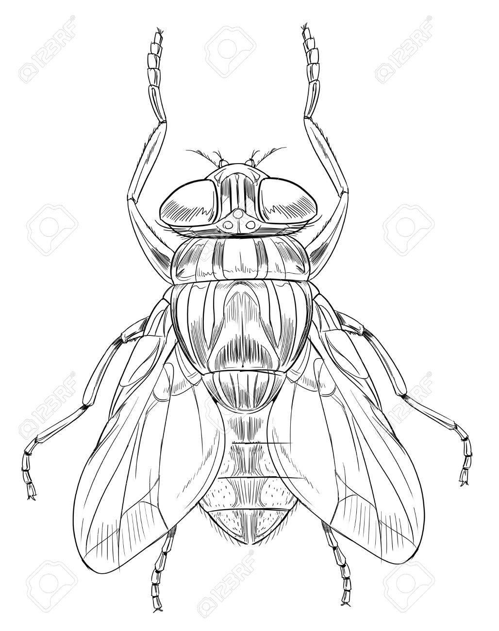 Common housefly - Musca domestica Stock Vector - 16771565
