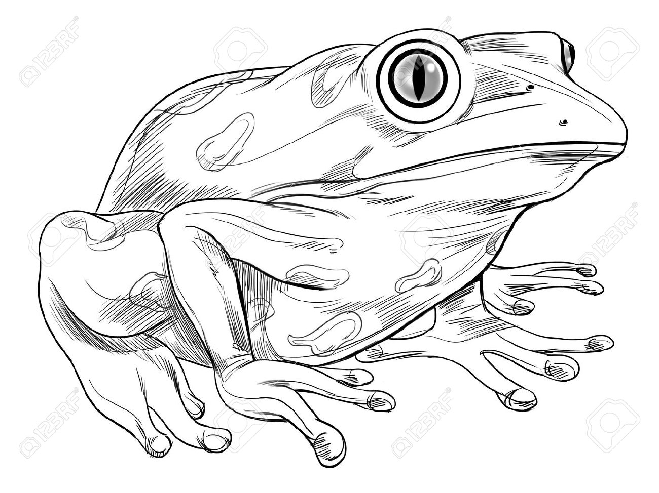 Black And White Sketch Of A Frog Stock Vector   16771568