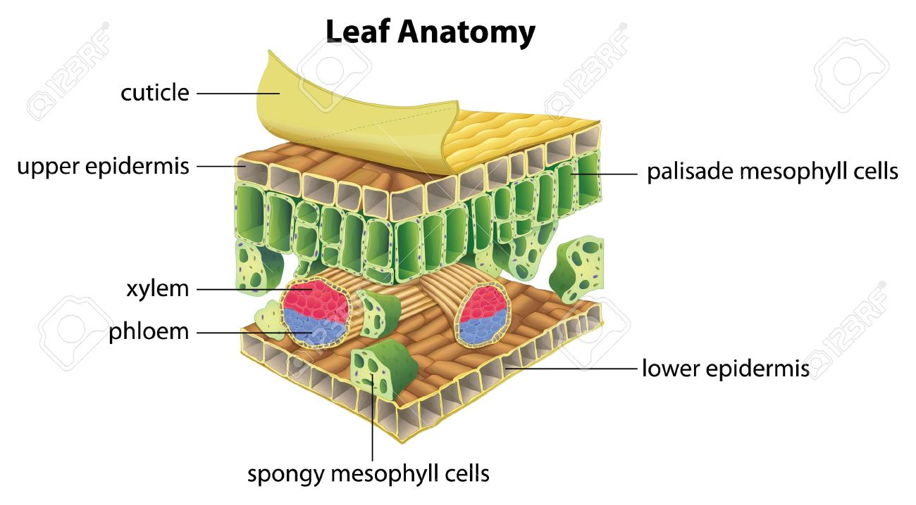 Illustration Of The Anatomy Of A Leaf Royalty Free Cliparts, Vectors ...