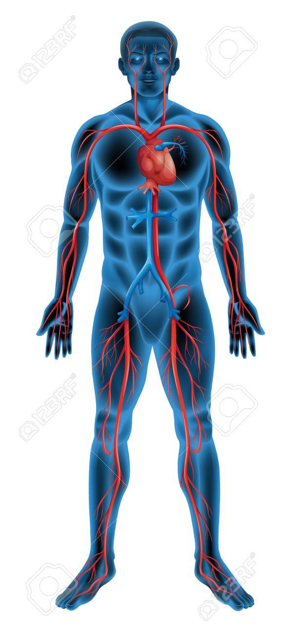 Ilustración Del Sistema Circulatorio Ilustraciones Vectoriales, Clip Art  Vectorizado Libre De Derechos. Image 16988182.