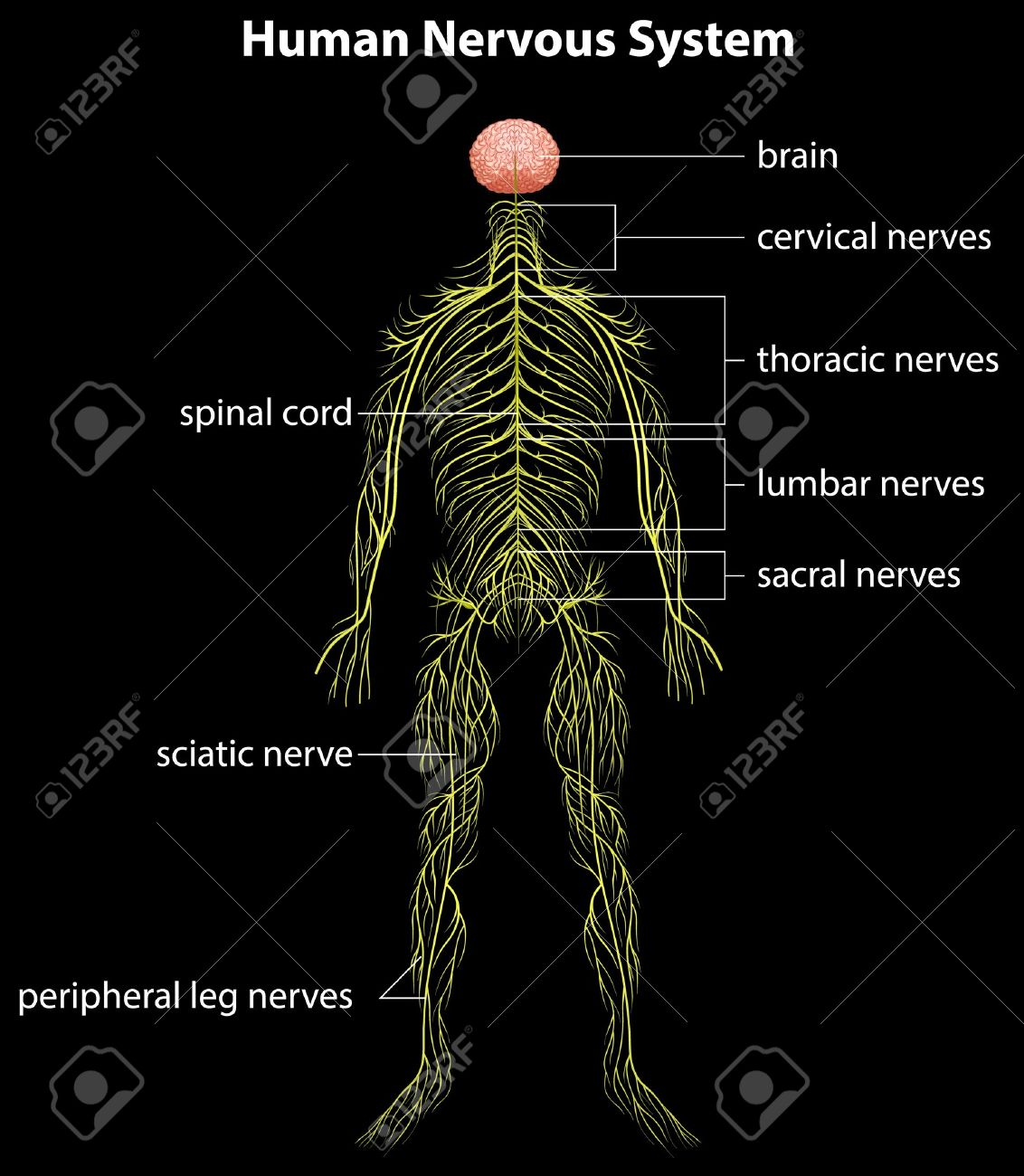 Illustration of the human nervous system Stock Vector - 16988176