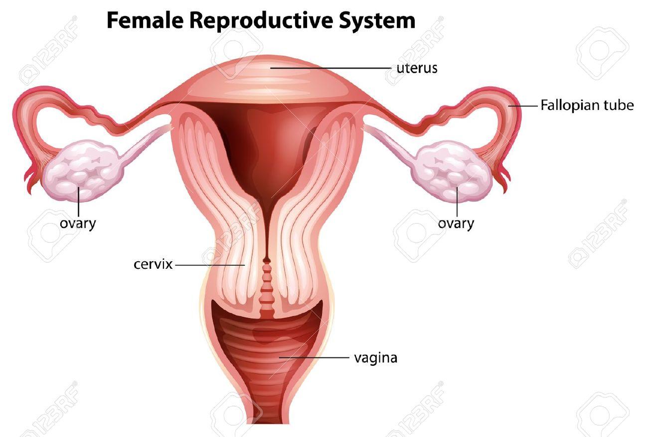 Ilustración Del Sistema Reproductor Femenino Ilustraciones ...