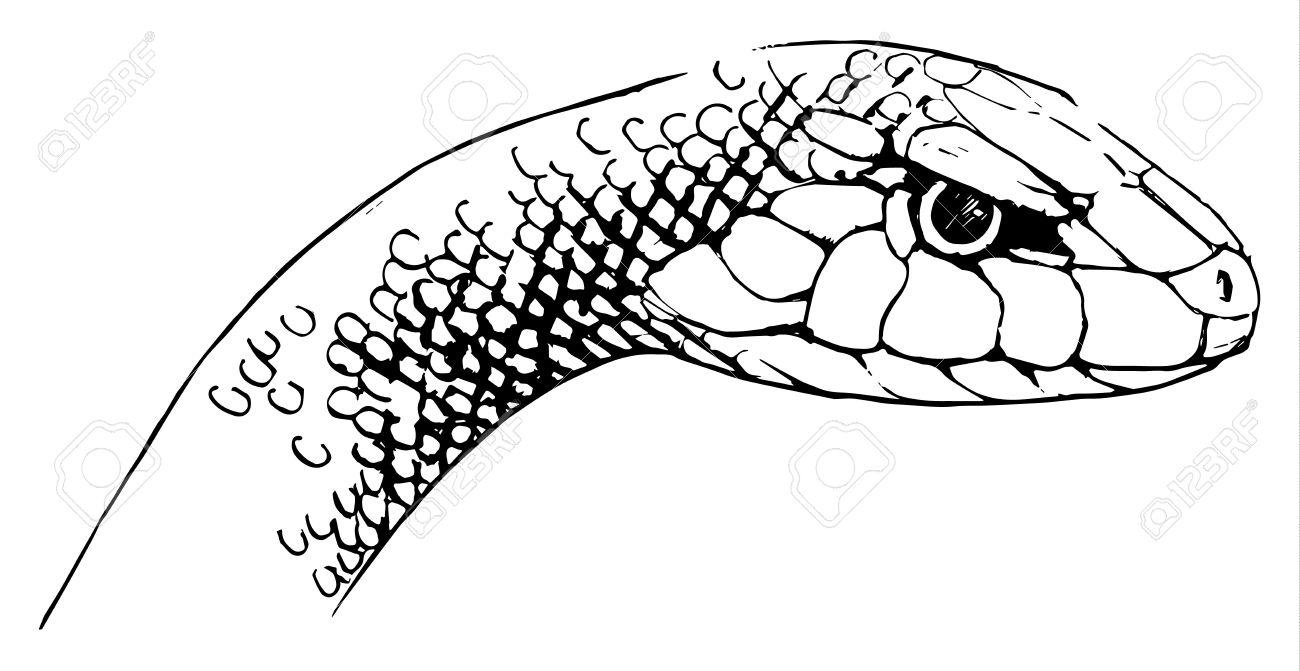 Illustration of Oxyupanus microlepidotus - Inland Taipan Stock Vector - 16988029