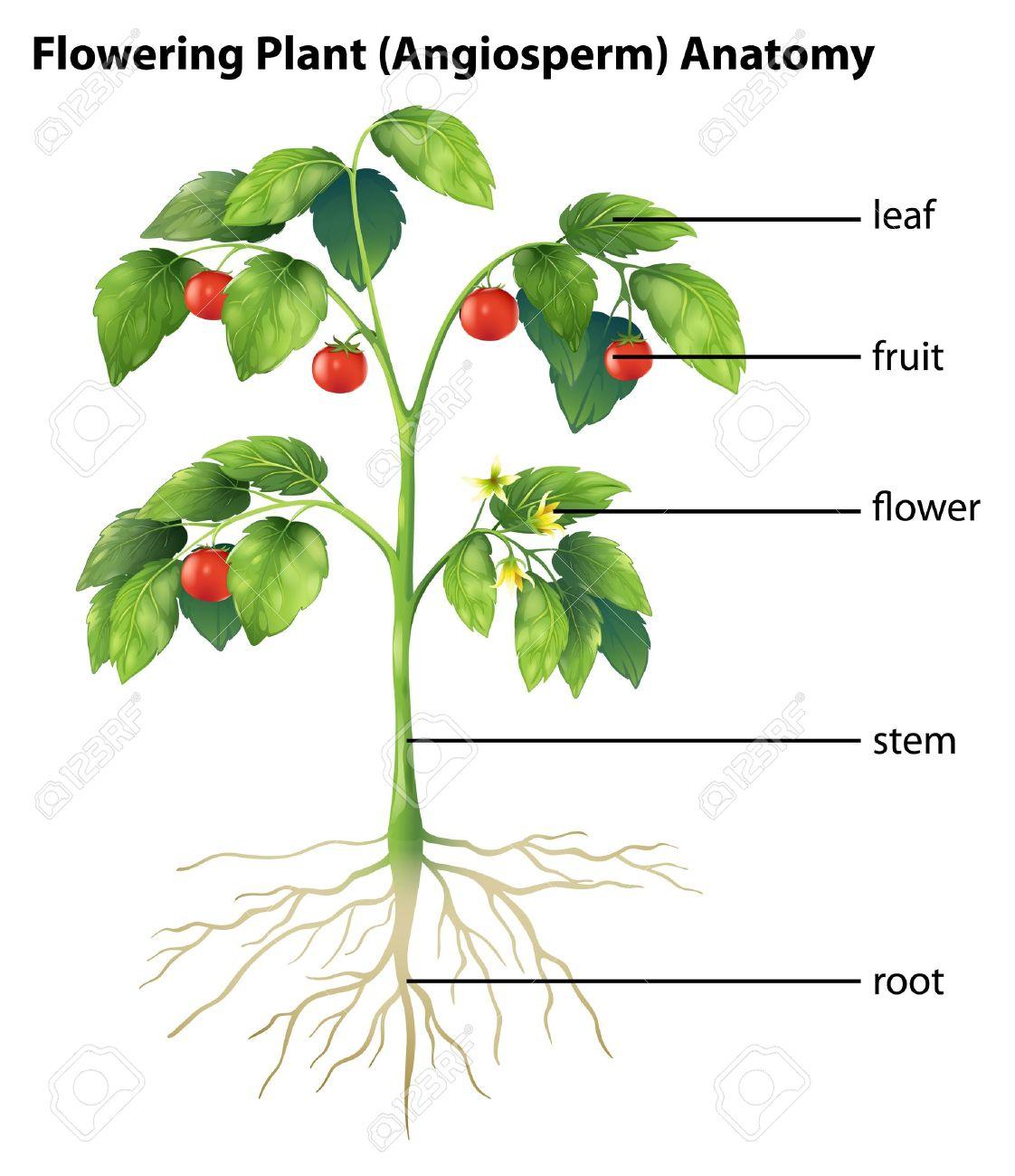 Tomato Plant Silhouette Parts of a Tomato Plant
