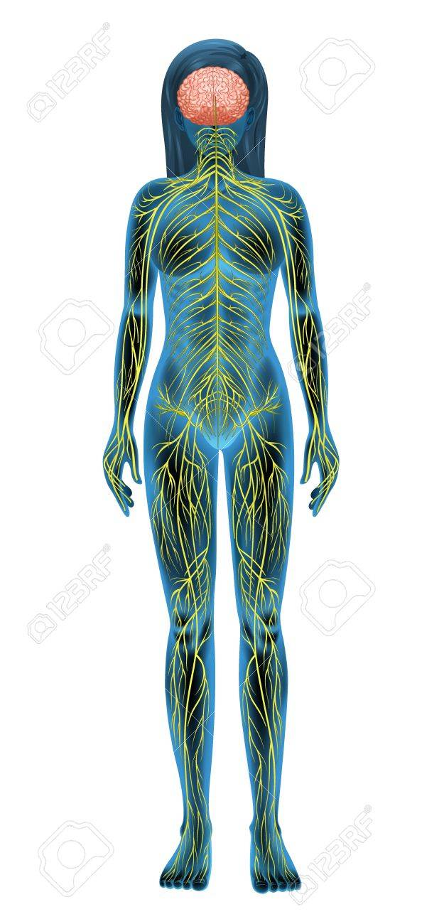 Illustration of the human nervous system Stock Vector - 16988199