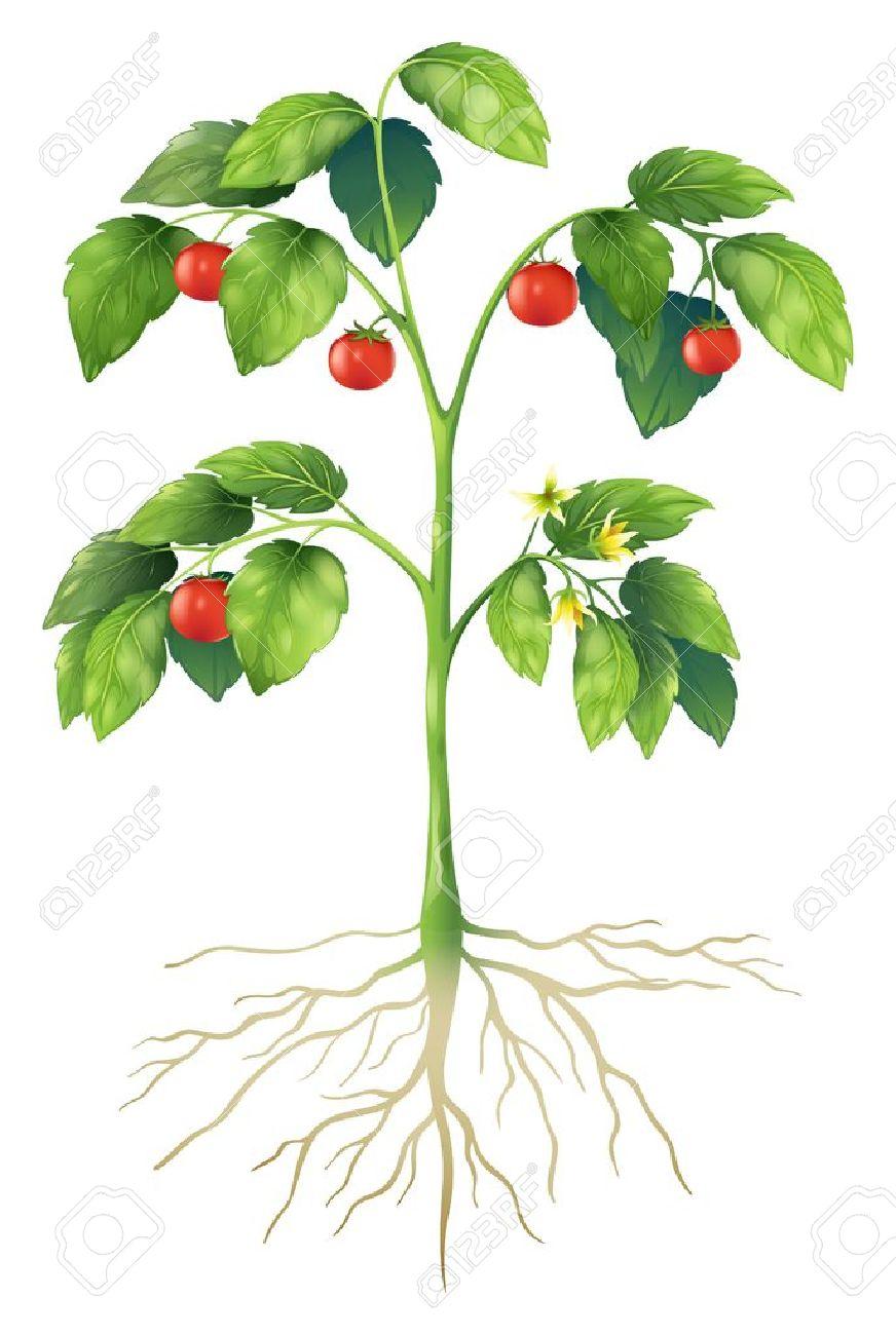 Ilustración Que Muestra Las Partes De Una Planta De Tomate ...