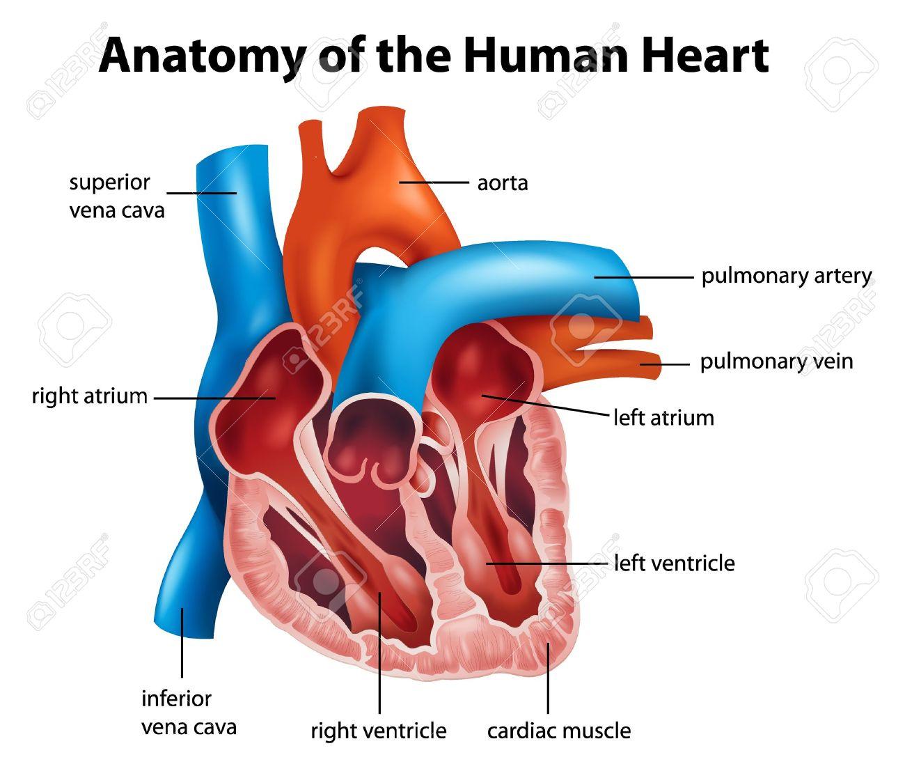 Anatomía Del Corazón Humano Ilustración Ilustraciones Vectoriales ...