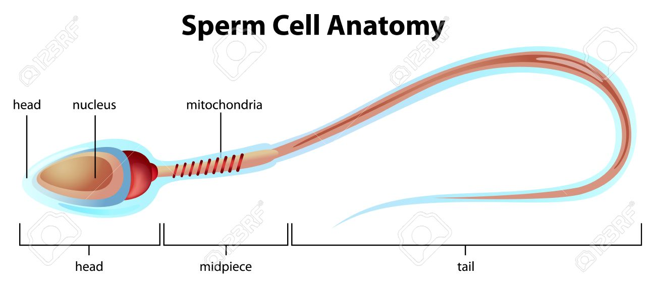Illustartion Showing The Structure Of A Sperm Cell Royalty Free ...