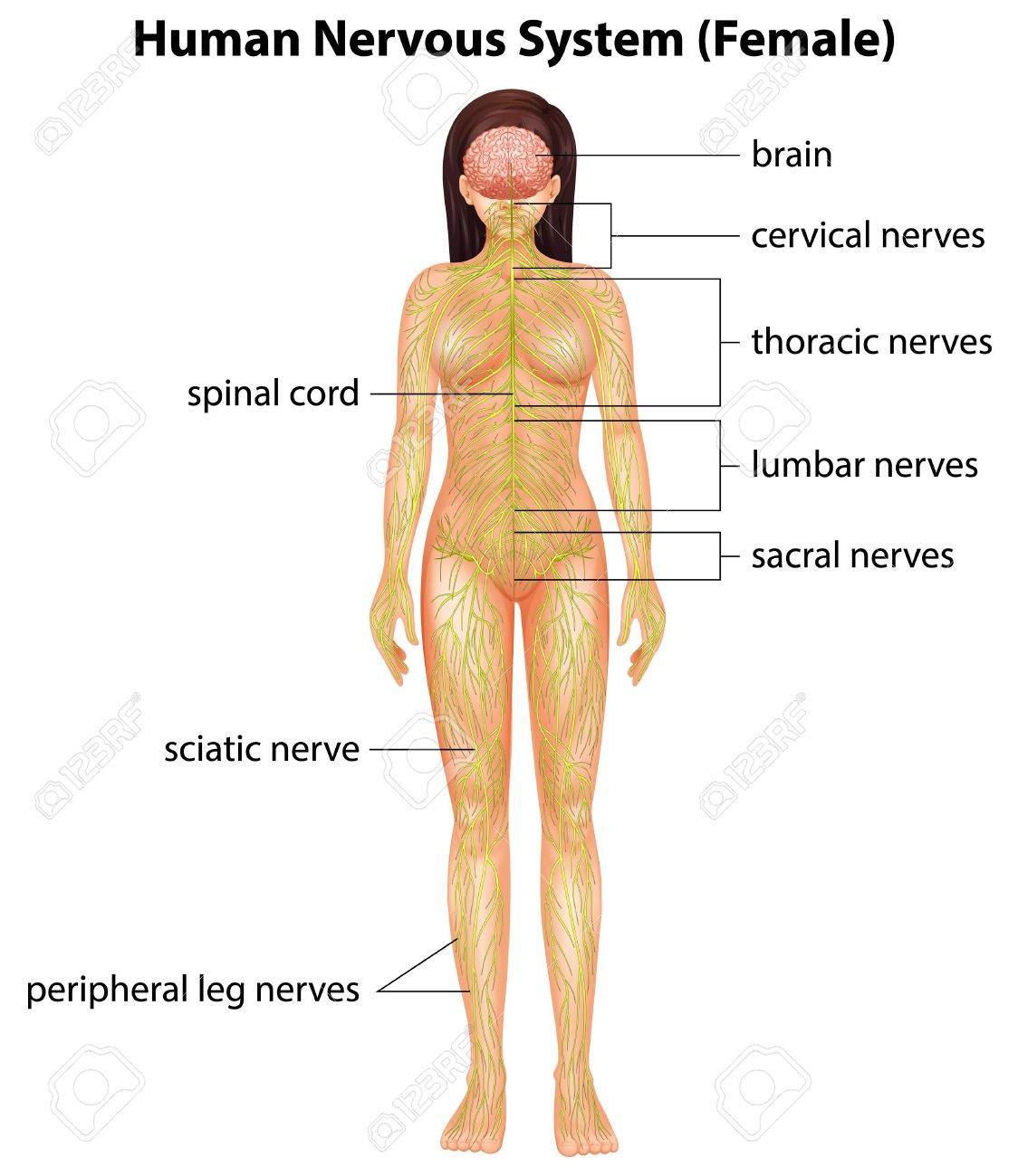 Illustration of the human nervous system Stock Vector - 19929950