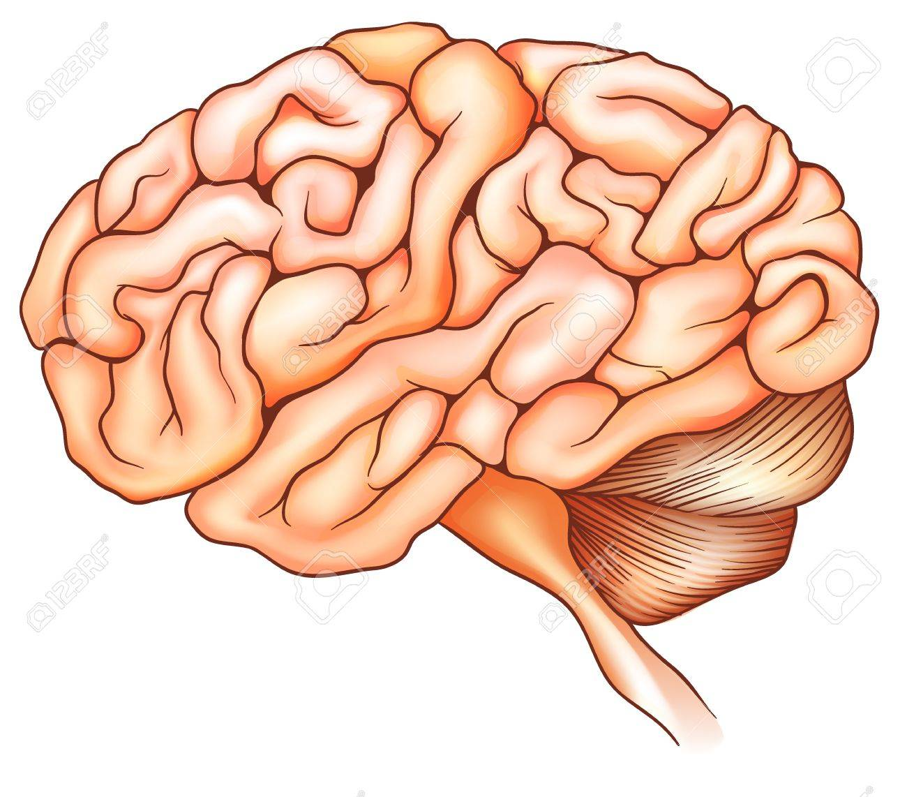 An illustration of the human brain Stock Vector - 19929953