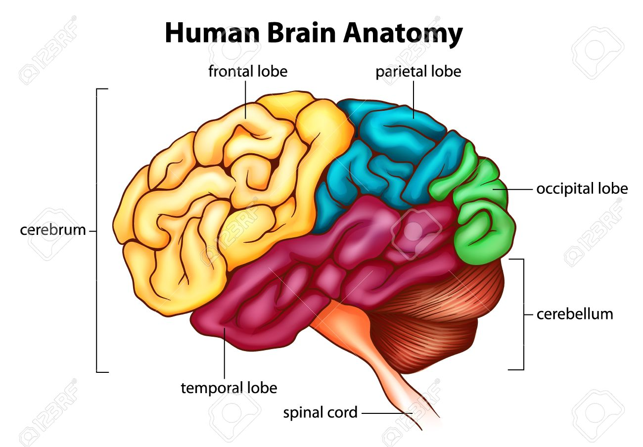 an illustration of the human brain royalty free cliparts, vectors, Human Body