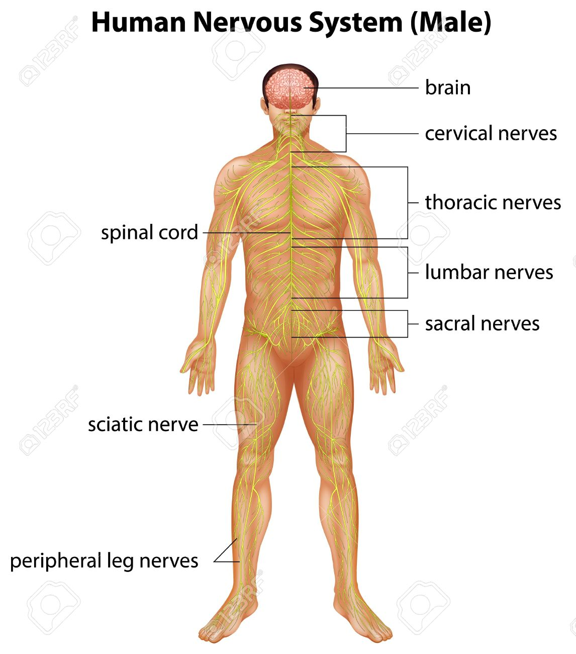 Illustration Of The Human Nervous System Royalty Free Cliparts