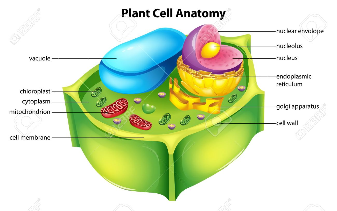 Illustration Showing The Plant Cell Anatomy Royalty Free Cliparts ...