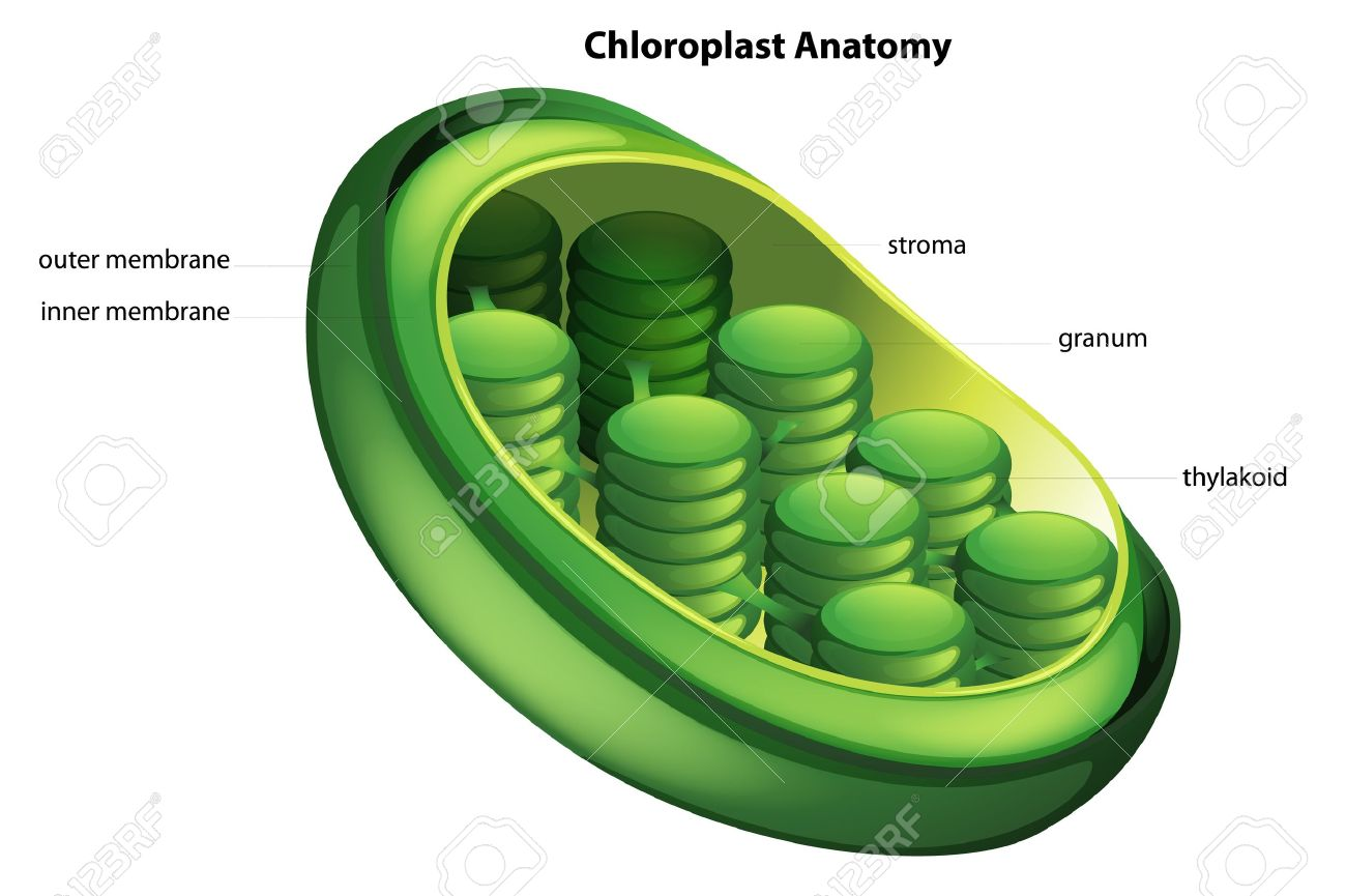 182 chloroplast stock illustrations cliparts and royalty free illustration showing the chloroplast anatomy pooptronica