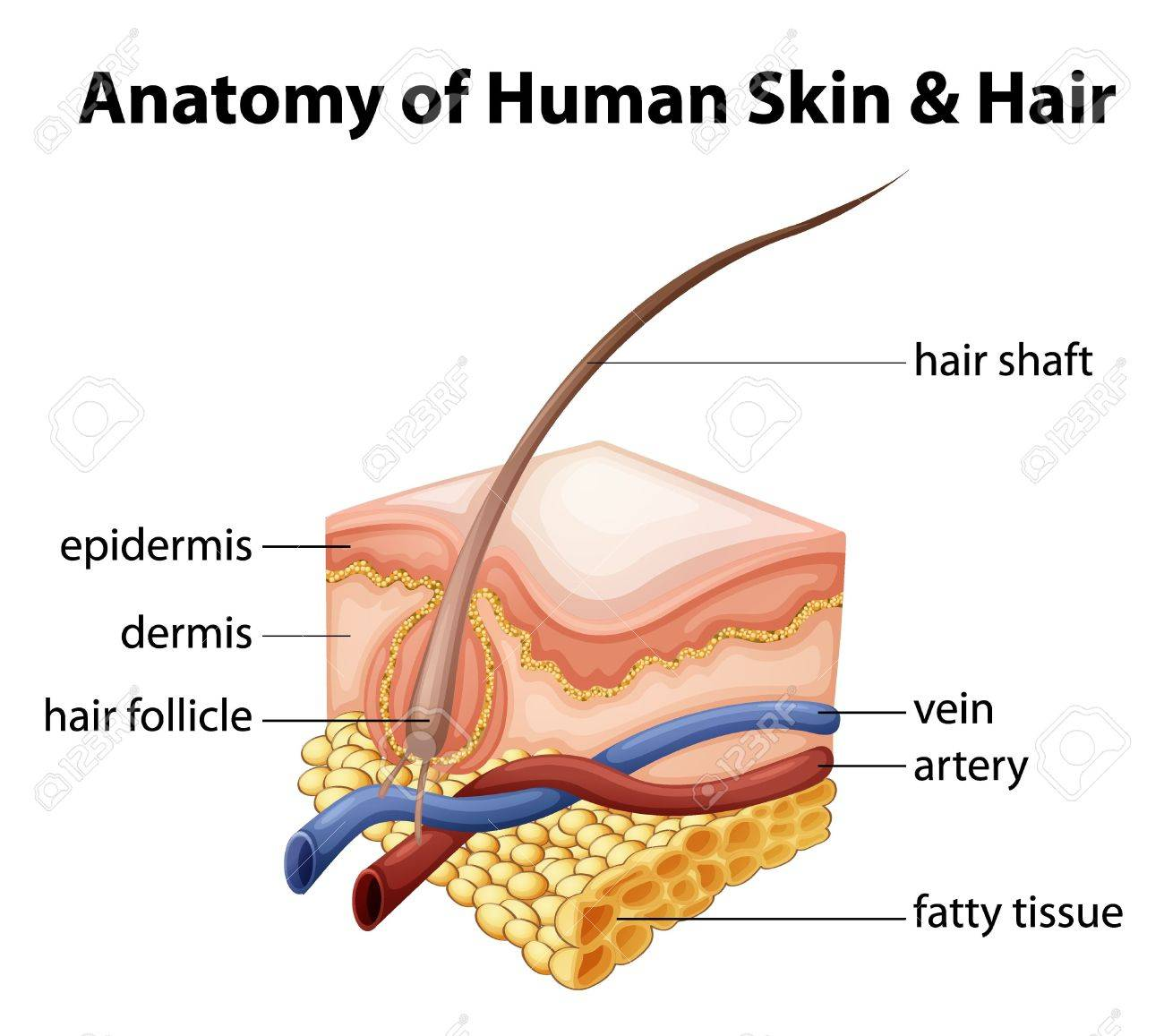 Illustration Of The Anatomy Of Human Skin And Hair Royalty Free