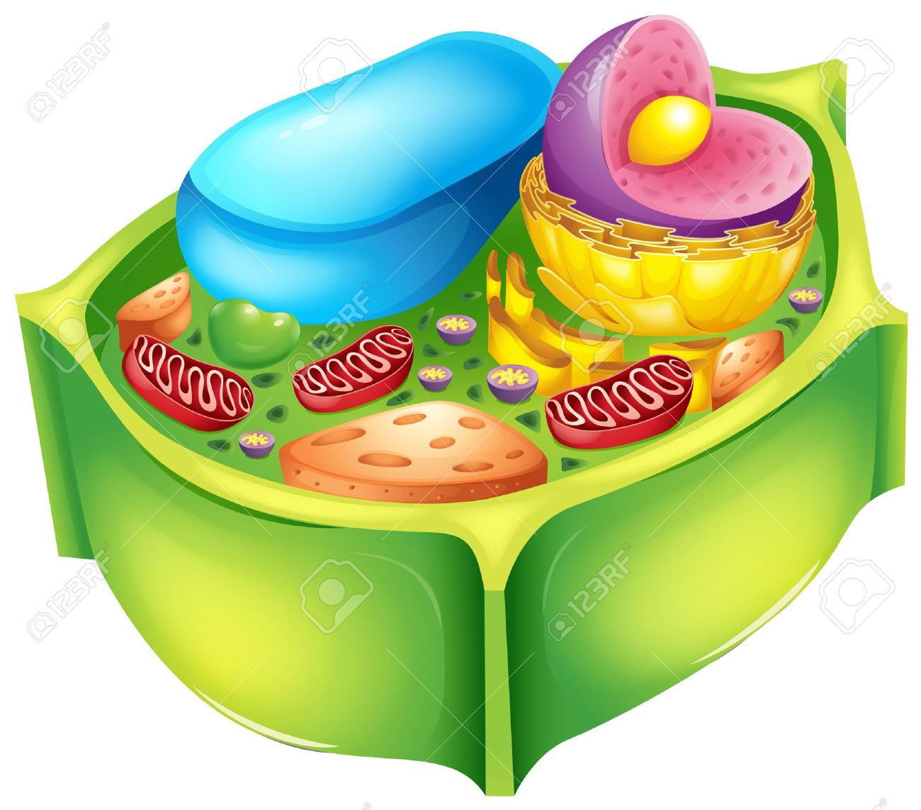Illustration of a plant cell Stock Vector - 20060214