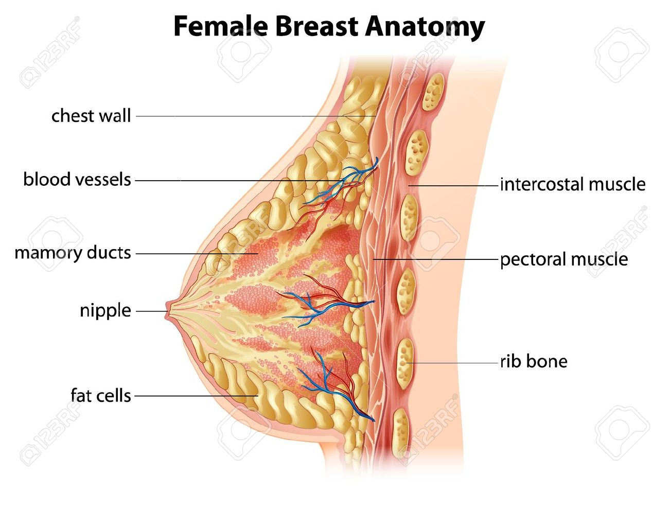 Illustration Showing The Female Breast Anatomy Royalty Free Cliparts ...