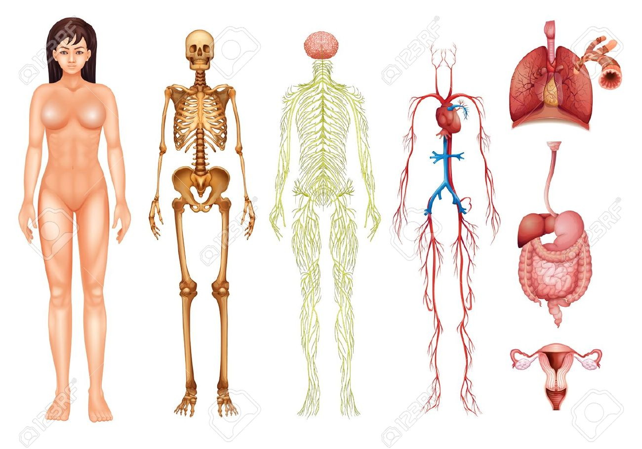 Illustration Of Various Human Body Systems And Organs Royalty Free ...
