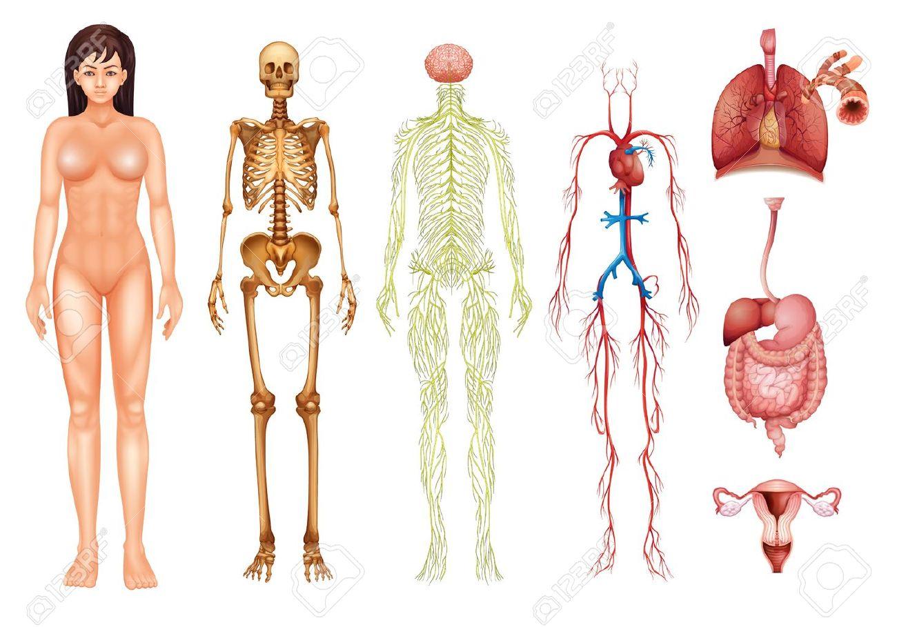 Ilustración De Varios Sistemas Del Cuerpo Humano Y Los órganos ...