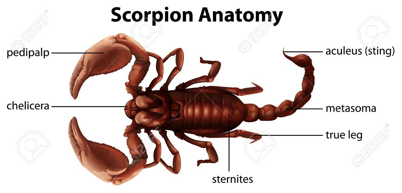 Illustration Showing The Anatomy Of A Scorpion Royalty Free Cliparts ...