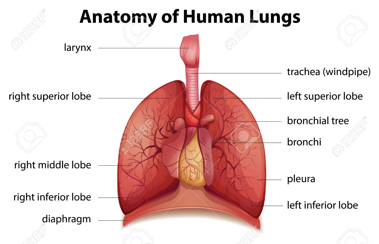 Illustration Of The Human Respiratory System Royalty Free Cliparts