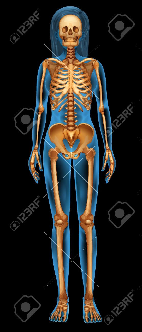 Illustration of the human skeletal system Stock Vector - 20060289