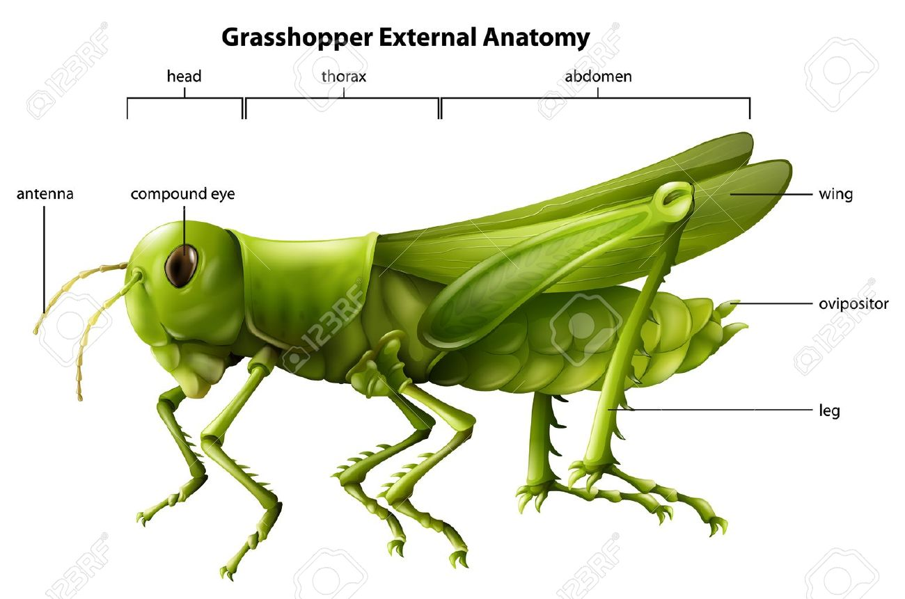 Illustration showing the external anatomy of a grasshopper Stock Vector - 20060066