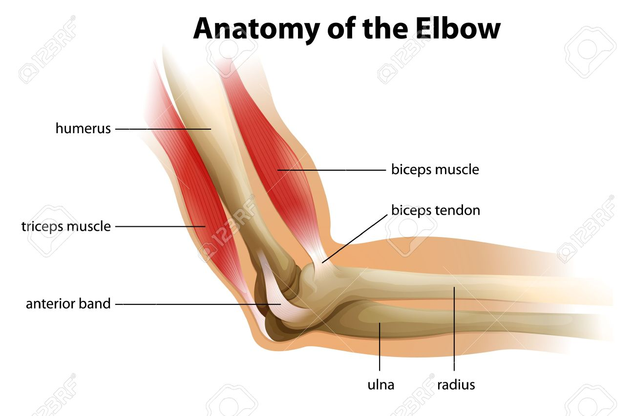 Human Elbow Anatomy Diagram - DIY Wiring Diagrams •