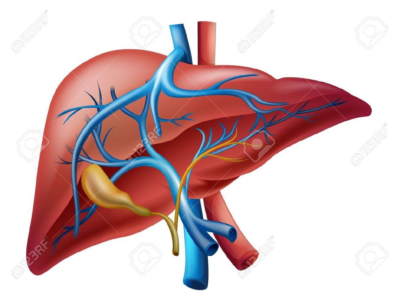 Ilustración Del Hígado Humano Interno Ilustraciones Vectoriales ...