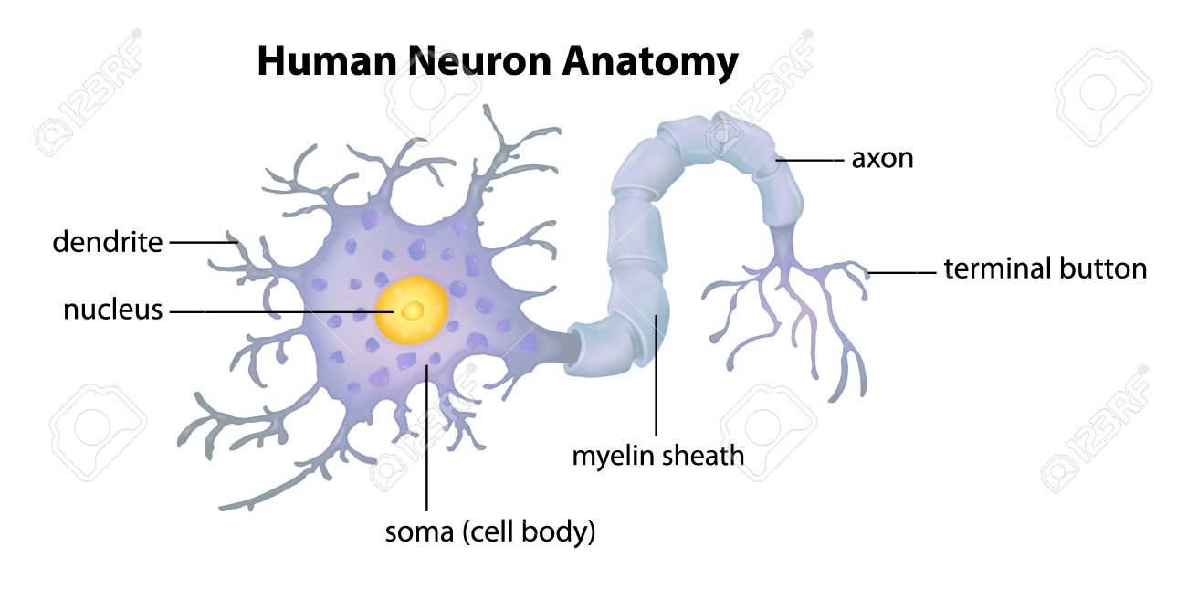 Illustration Showing The Human Neuron Anatomy Royalty Free Cliparts ...