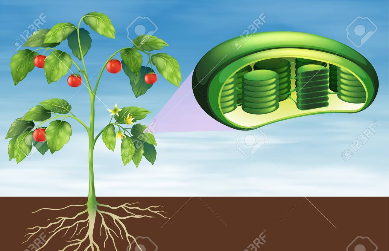 Illustration Of The Plant Cell Anatomy Royalty Free Cliparts ...