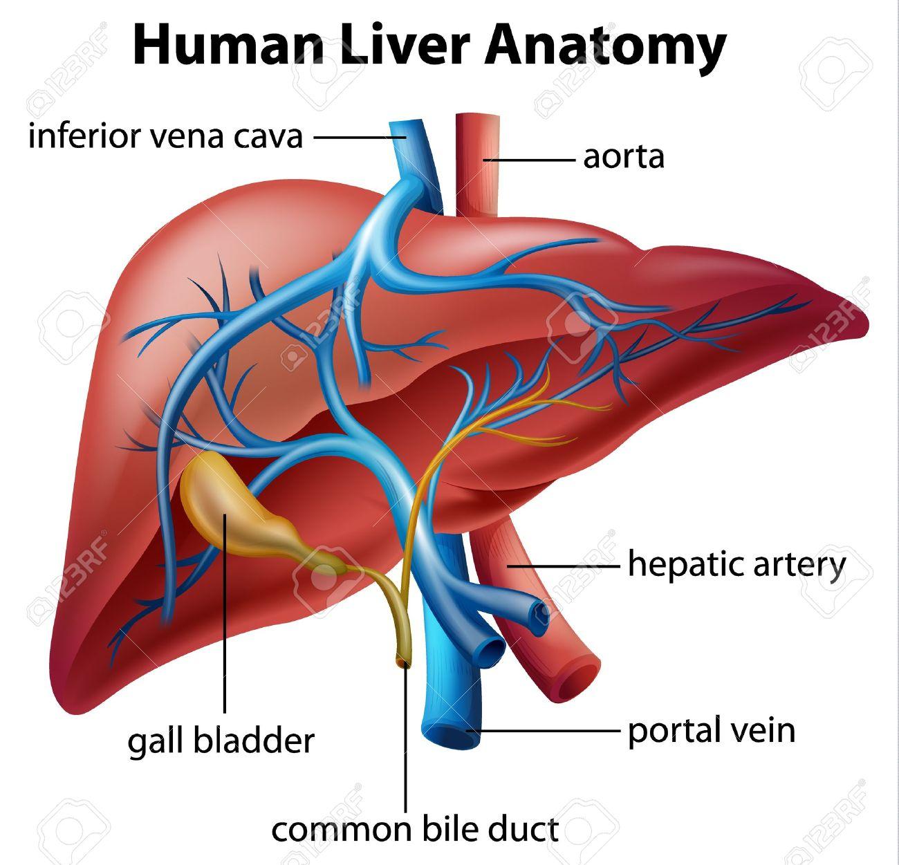 Ilustración De La Anatomía Del Hígado Humano Ilustraciones ...