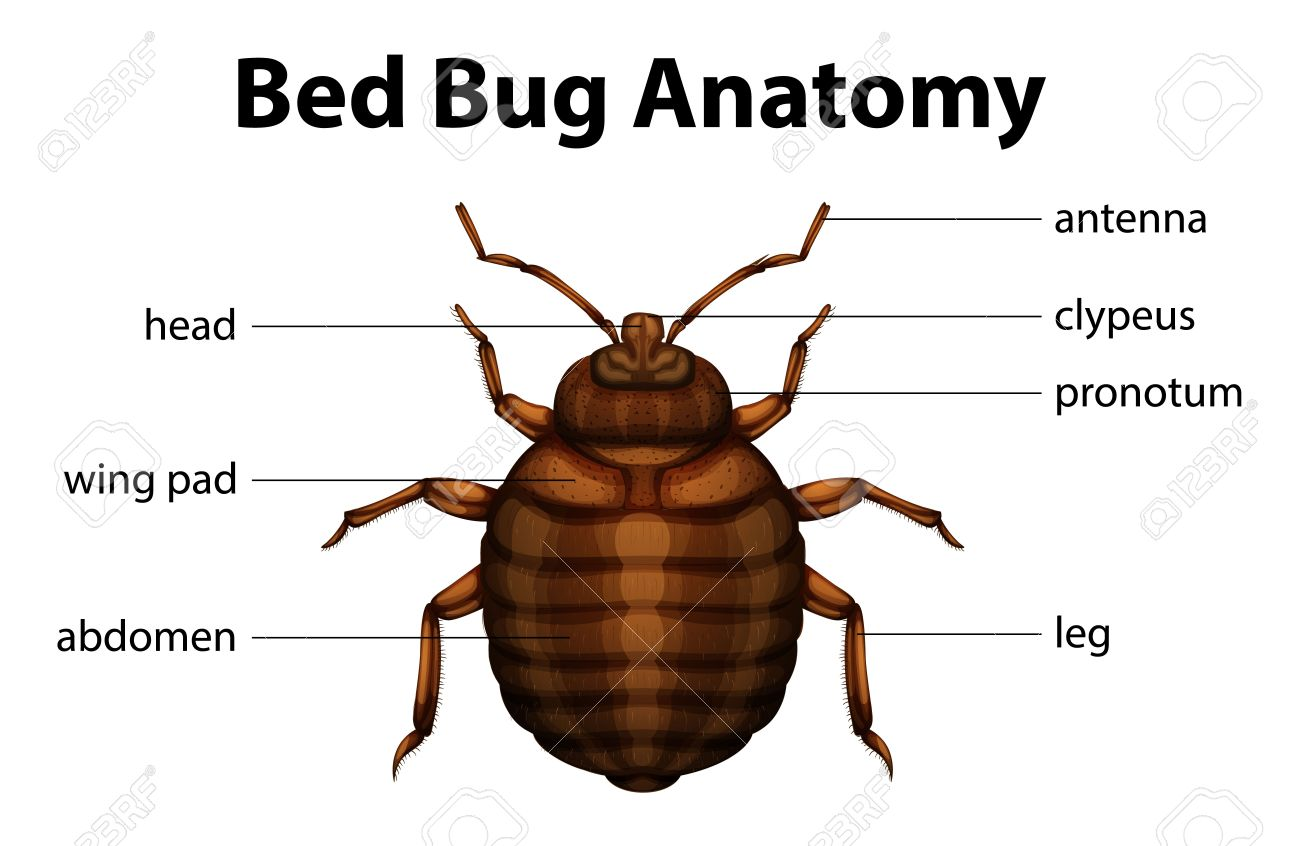 Illustration Of The Bed Bug Anatomy Royalty Free Cliparts Vectors