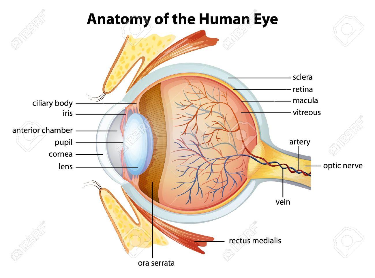 Illustration Of The Human Eye Anatomy Royalty Free Cliparts ...
