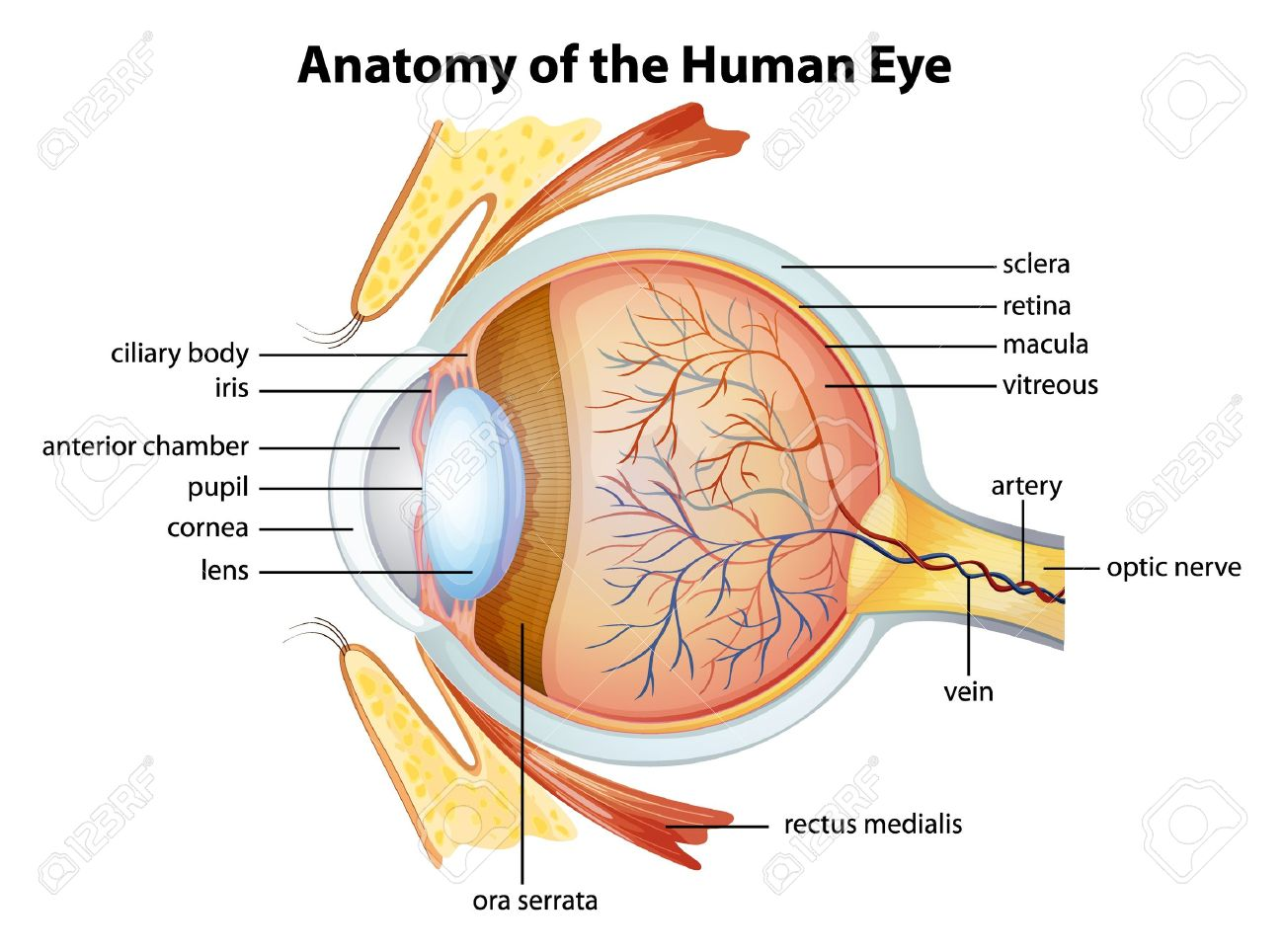 Ilustración De La Anatomía Del Ojo Humano Ilustraciones Vectoriales ...