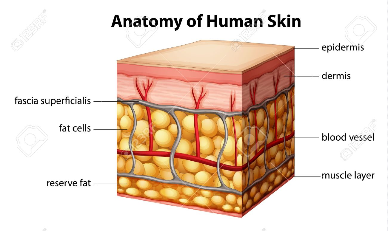 Ilustración De La Anatomía De La Piel Humana Ilustraciones ...
