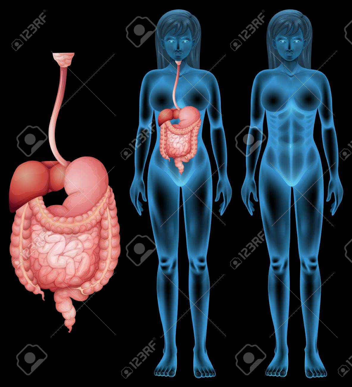 Illustration of the human digestive system Stock Vector - 20185485