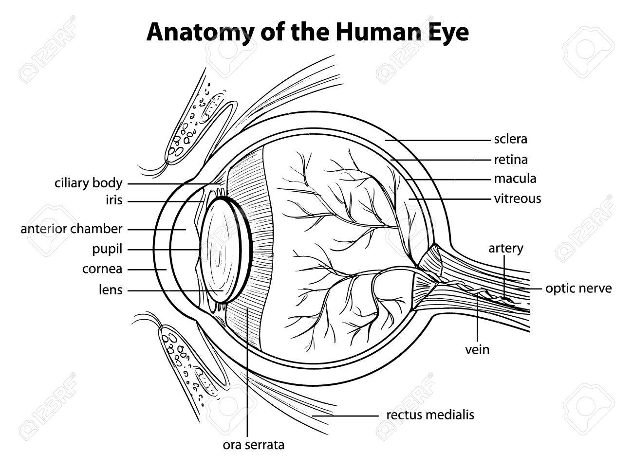 Illustration showing the human eye royalty free cliparts vectors illustration showing the human eye stock vector 20185298 ccuart Gallery