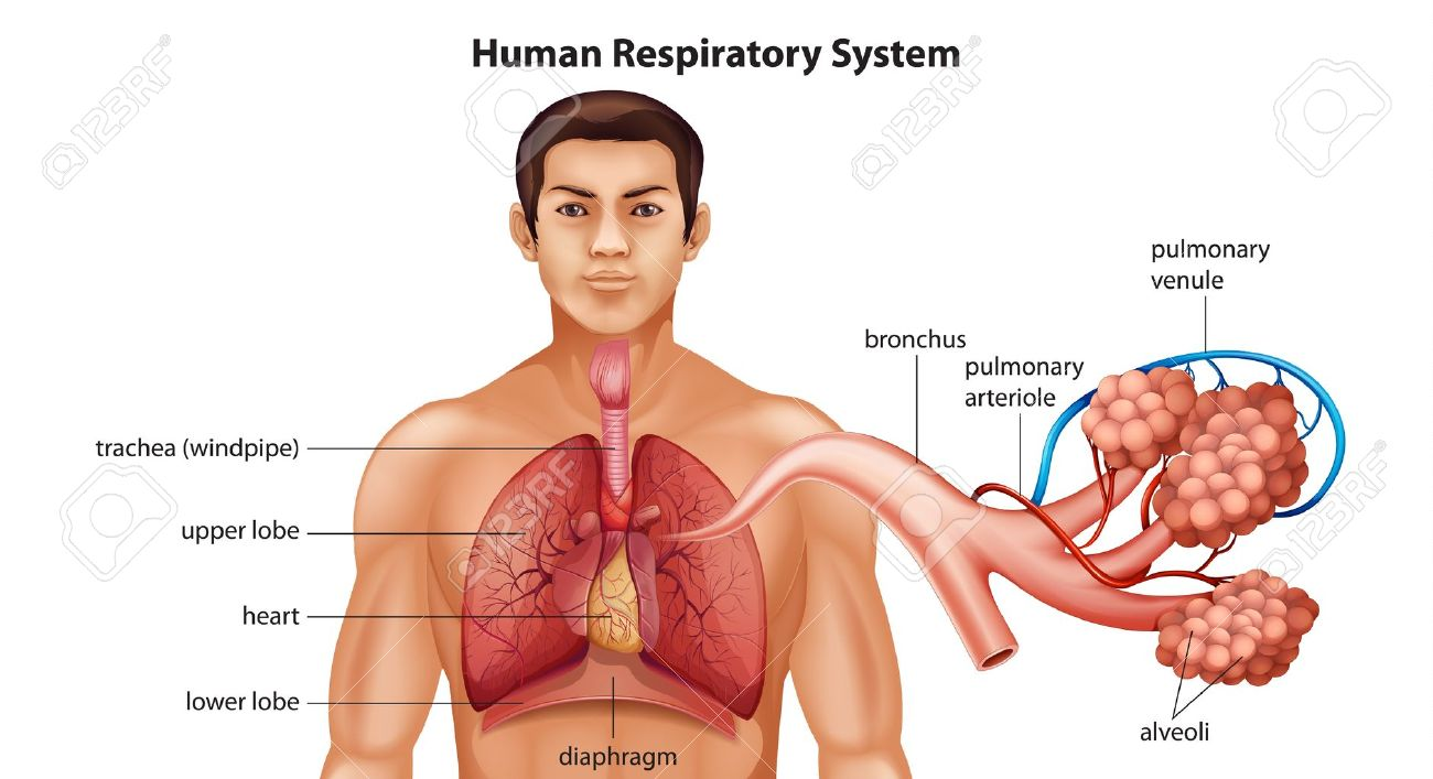 respiratory stock photos pictures royalty free respiratory