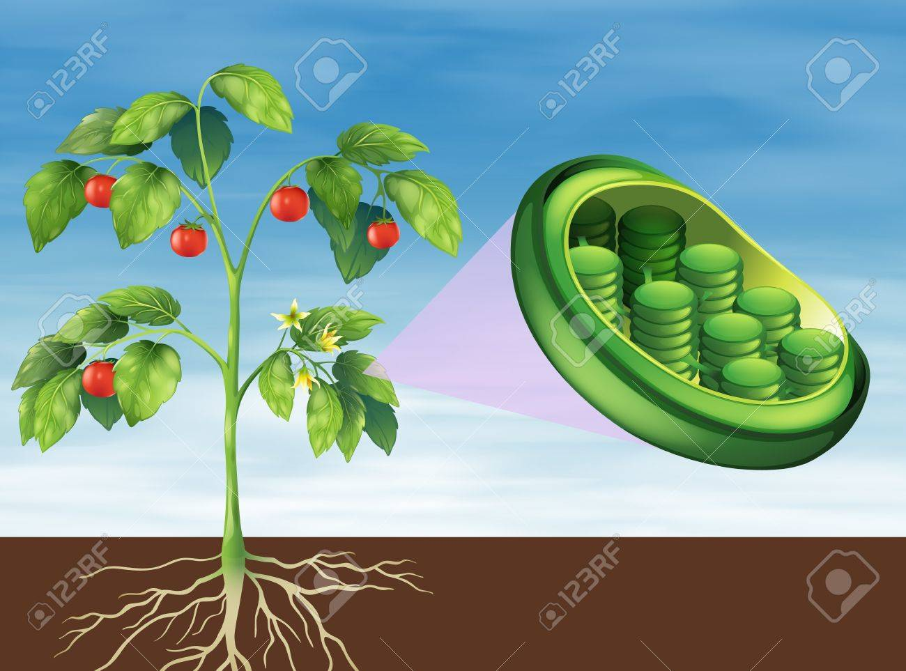 Illustration of a Chloroplast in plant Stock Vector - 20679995
