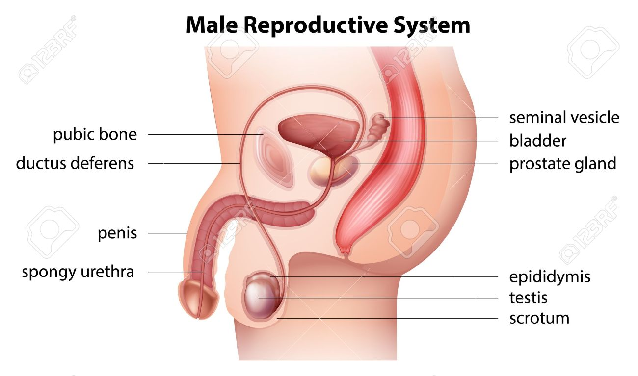 Illustration showing the male reproductive system Stock Vector - 20679965