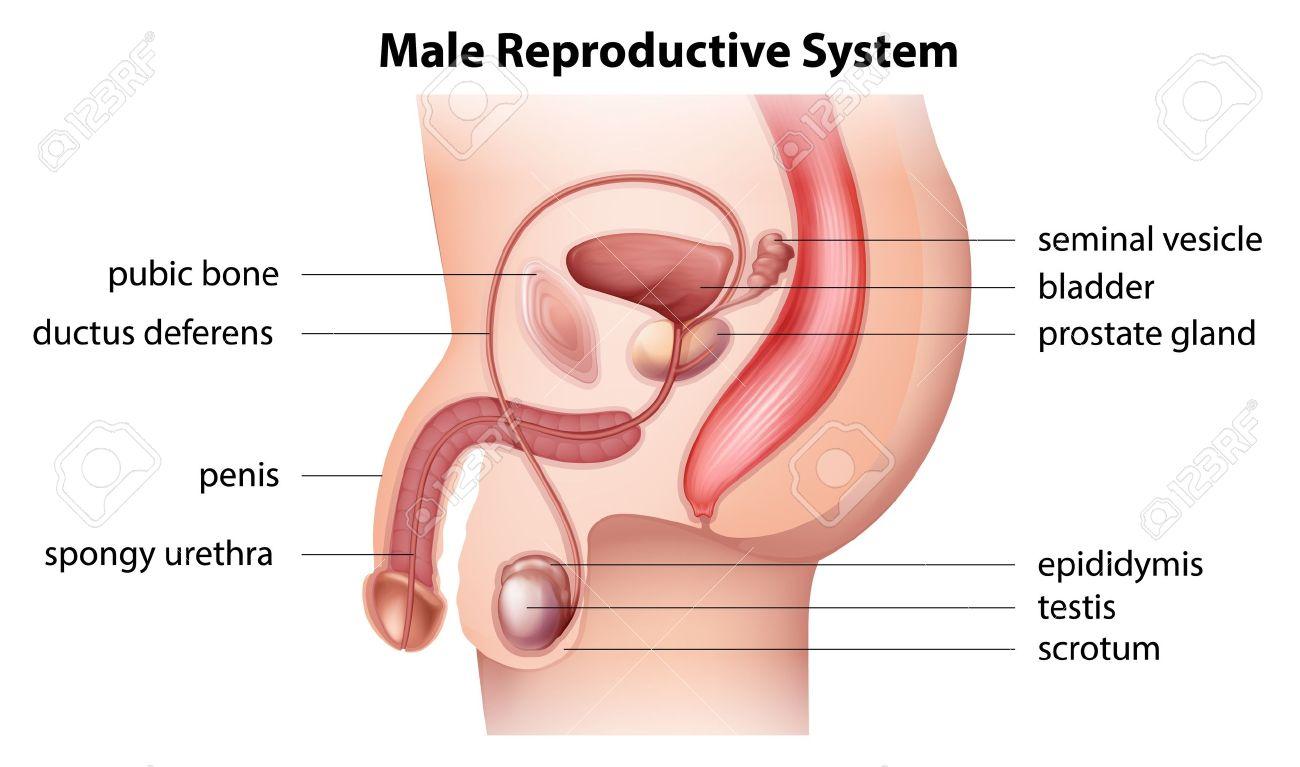 Ilustración Que Muestra El Sistema Reproductor Masculino ...